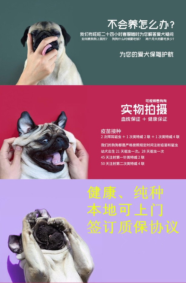 专业正规犬舍热卖优秀昆明犬保证冠军级血统10