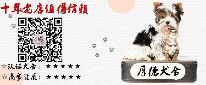 南昌自家狗场繁殖大肉嘴松狮犬 欢迎上门挑选价格优惠5