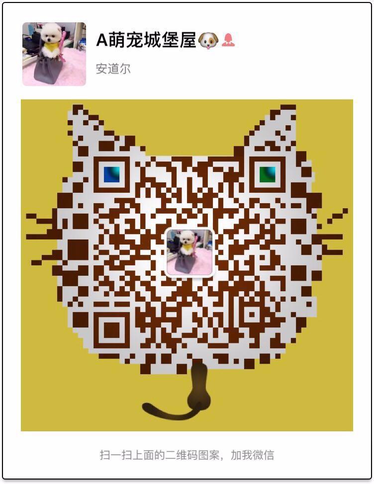 玩具 迷你 茶杯 泰迪熊幼犬贵宾犬深圳售健康已驱虫5