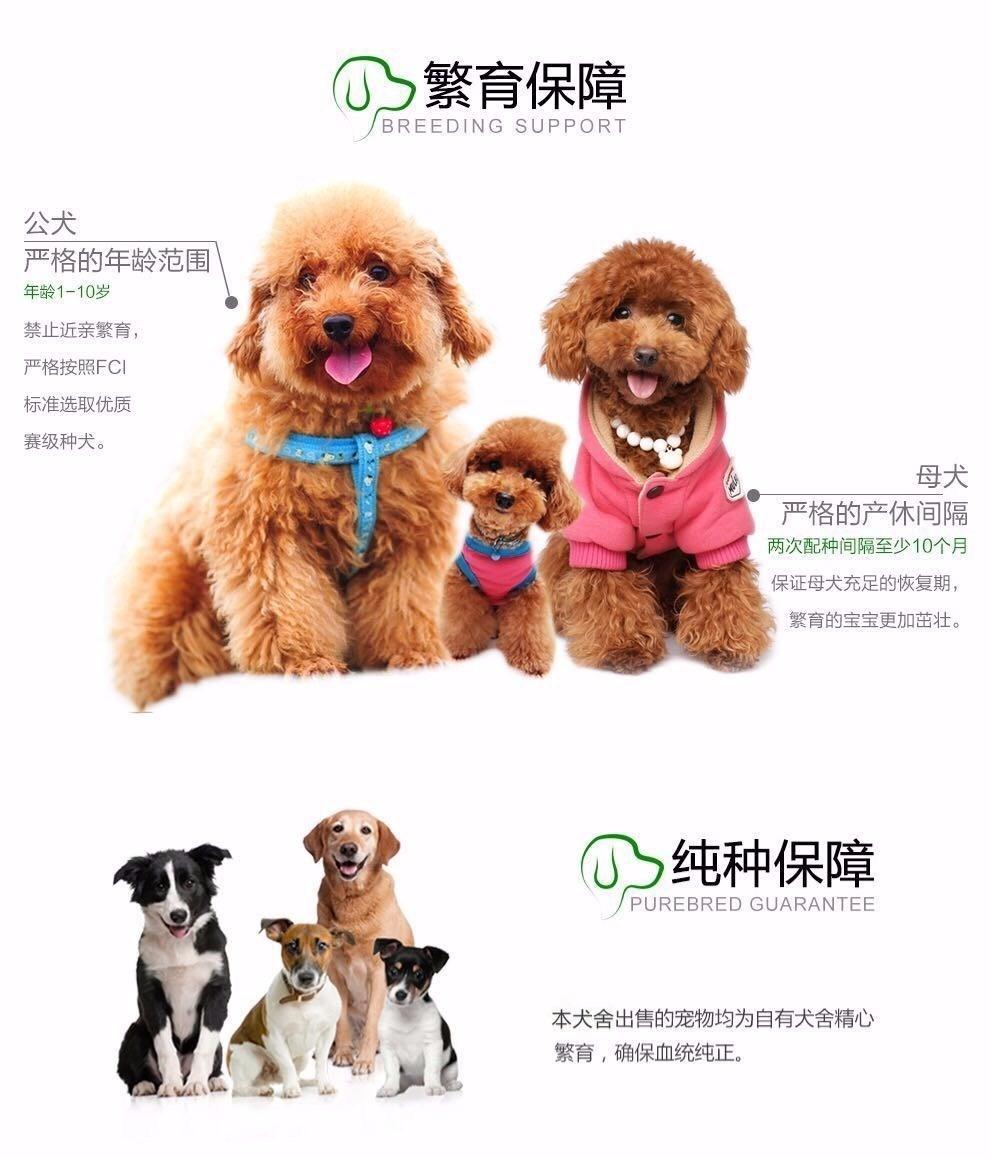 烟台养殖场出售深红色的泰迪犬 建议大家上门看狗选择10