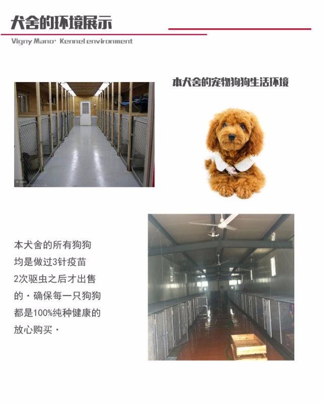 景德镇家养赛级泰迪犬宝宝品质纯正保终身送用品12