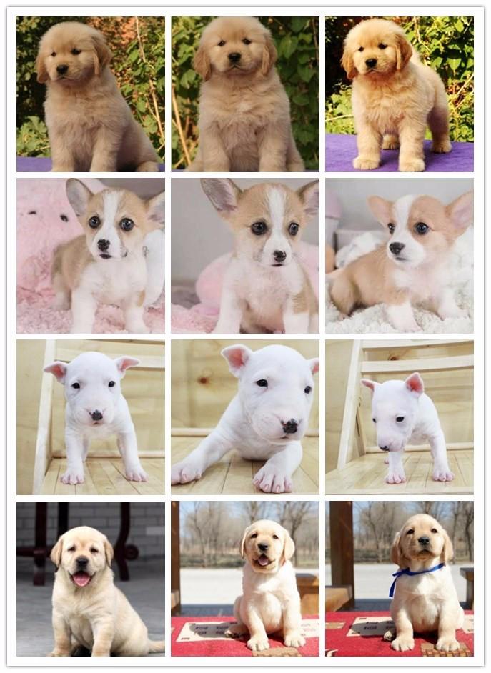 景德镇家养赛级泰迪犬宝宝品质纯正保终身送用品7