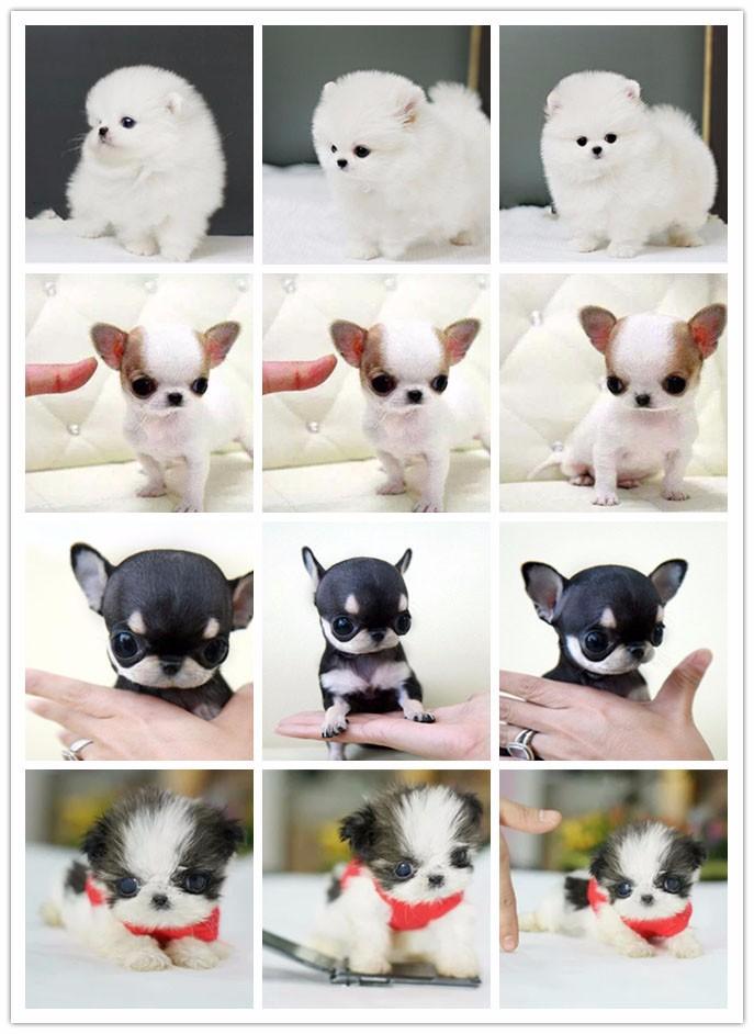 景德镇家养赛级泰迪犬宝宝品质纯正保终身送用品8
