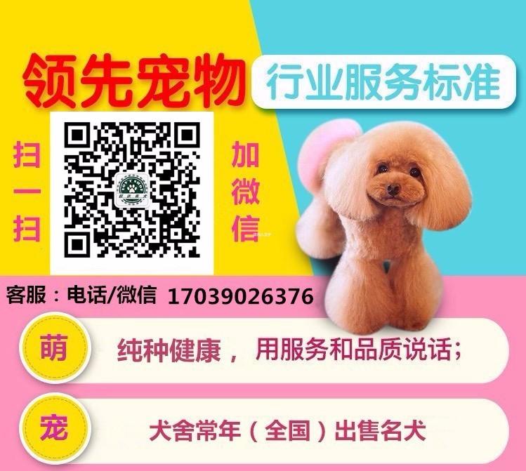 精品泰迪犬热卖中 血统认证保健康 三年联保协议5