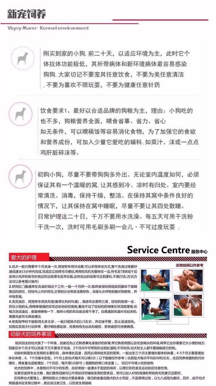 精品泰迪犬热卖中 血统认证保健康 三年联保协议15