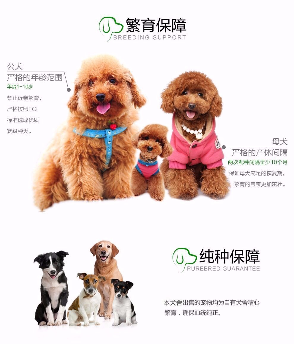 精品泰迪犬热卖中 血统认证保健康 三年联保协议10