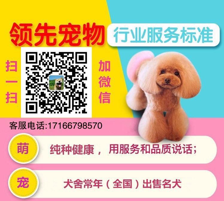 大连专业犬舍直销韩系泰迪犬 支持全国空运发货5