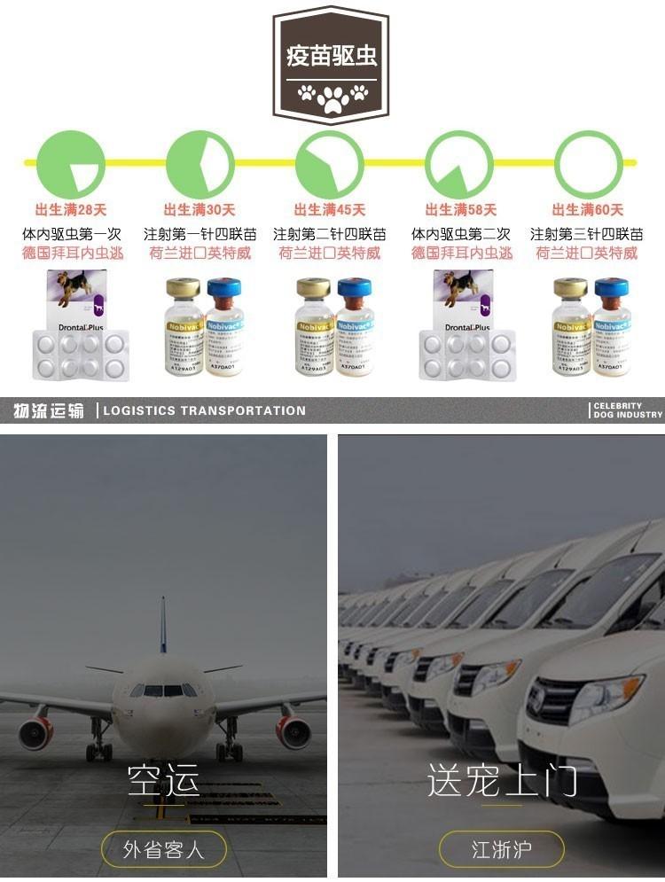 郑州出售 小体白毛甜脸 法国纯种比熊犬11