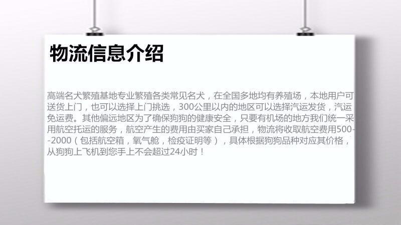 郑州出售 小体白毛甜脸 法国纯种比熊犬12