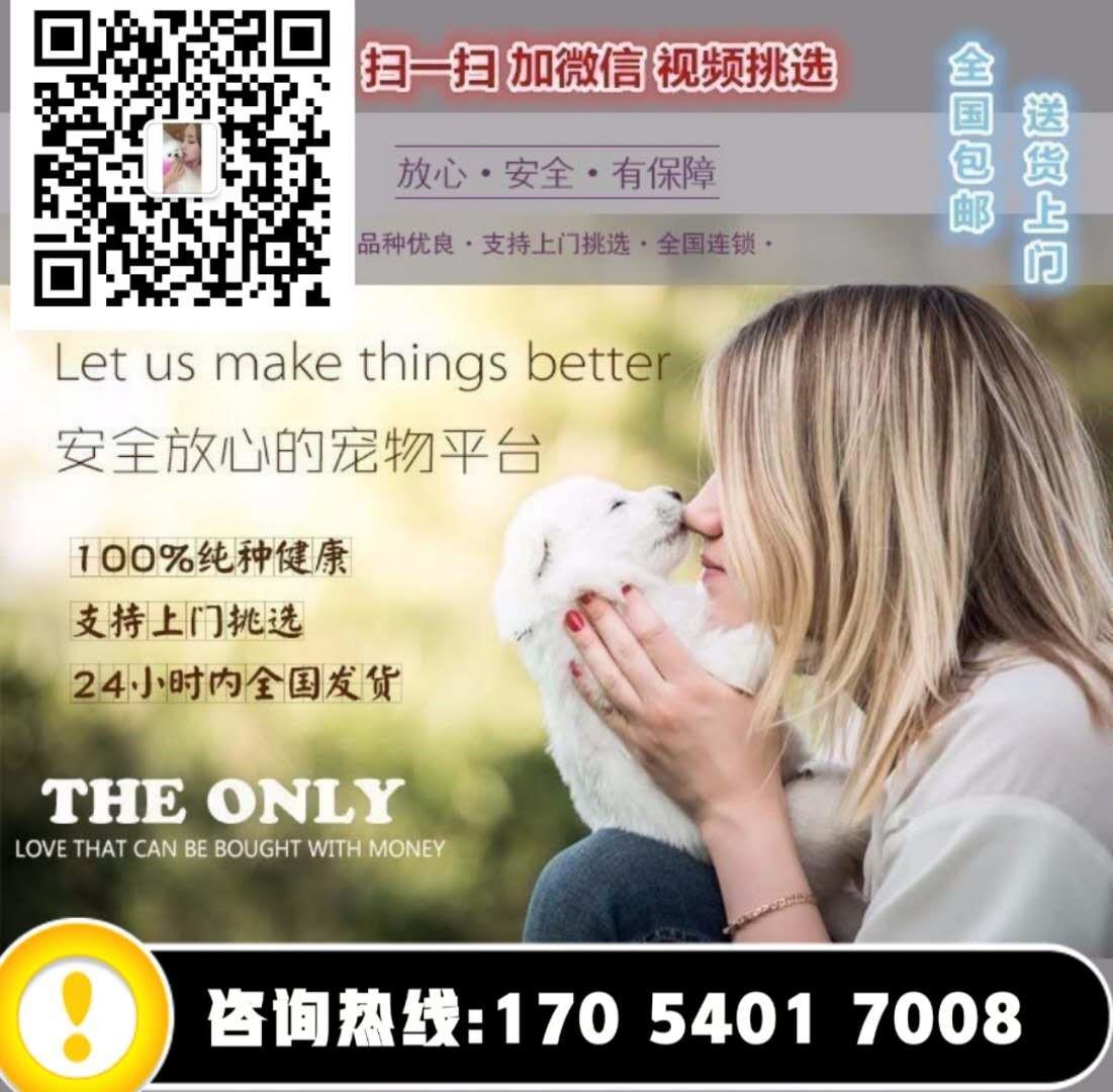 深红色茶杯玩具体型的泰迪犬找新主人 贵阳市内可送货5