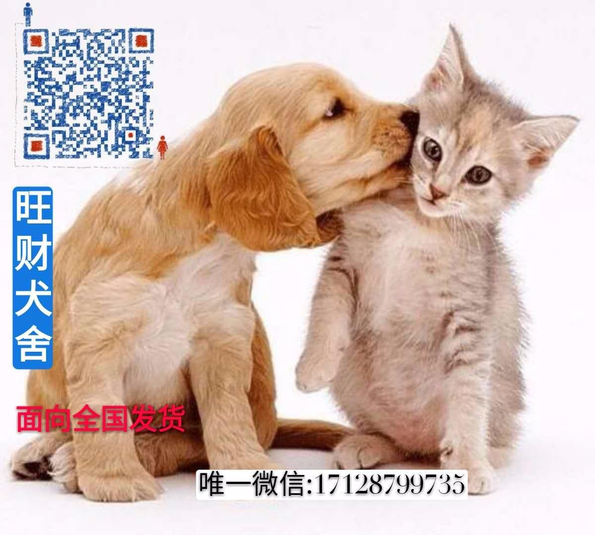 成都精品高品质格力犬幼犬热卖中多种血统供选购5