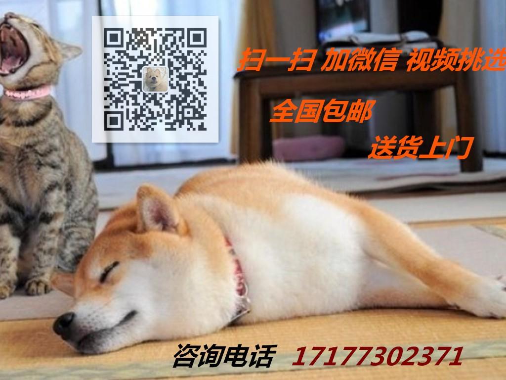 转让双血统赛级品质的贵阳泰迪犬 保活带健康证书5