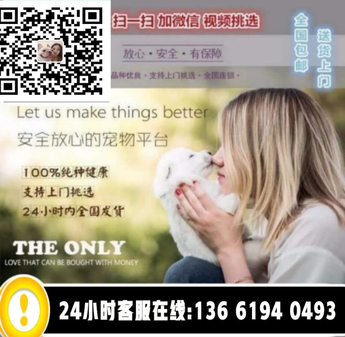 天津本地出售高品质泰迪犬宝宝赛级品质血统保障5