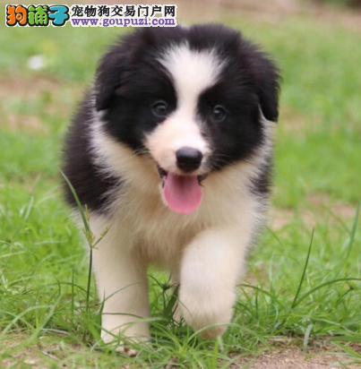 世界上智商第一的边境牧羊幼犬宝宝 出售
