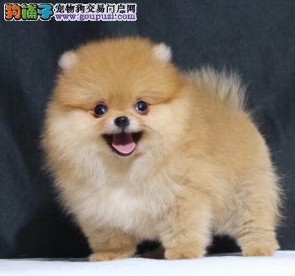 pomerania(名犬俱乐部)赛级博美宝宝出售