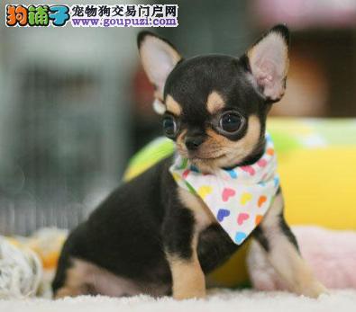 Chihuahua 名犬俱乐部)极品袖珍娃娃:国际血统