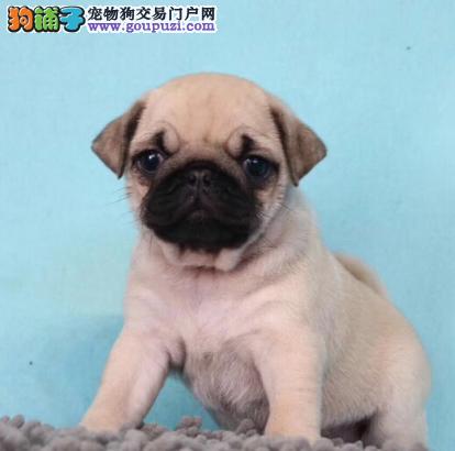 北京名犬俱乐部纯种巴哥幼犬出售'虎头满脸褶子