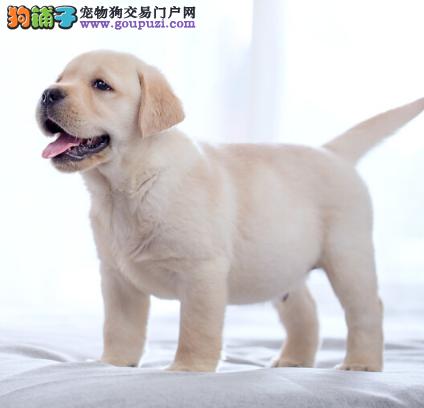 北京名犬家园出售顶级导盲犬小Q