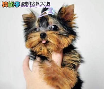 上海名犬俱乐部有血统纯正的金头银背约宝宝出售