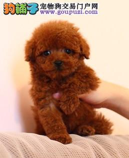 上海哪里有纯种的泰迪卖 本犬舍欢迎您的到来 颜色齐全
