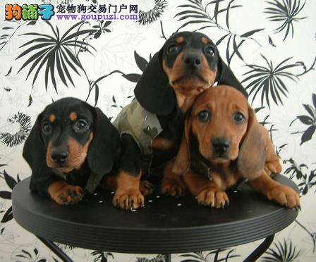 犬场直销听话可爱腊肠宝宝保证健康和纯种2