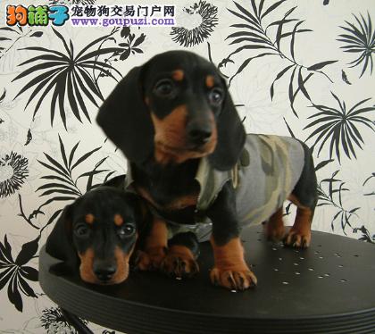犬场直销听话可爱腊肠宝宝保证健康和纯种1