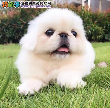 高贵的上海犬 京巴幼崽纯种健康的宝宝