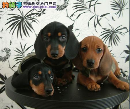 犬场直销听话可爱腊肠宝宝保证健康和纯种3