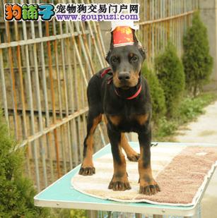 耐力极强的的杜宾狗狗幼崽出售了4