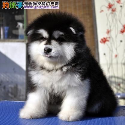 帅气十足的阿拉斯加雪橇犬