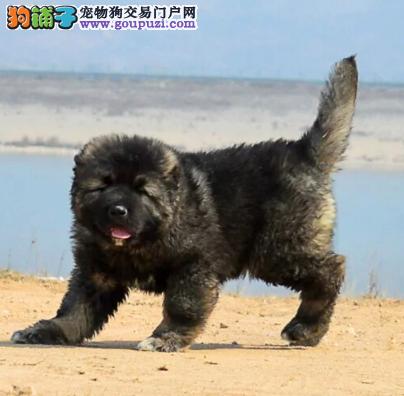 大骨架熊版猛犬高加索VS藏獒 幼崽待售