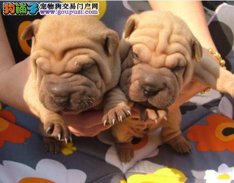 艺术的结晶创造优质的沙皮犬 纯种幼崽待售