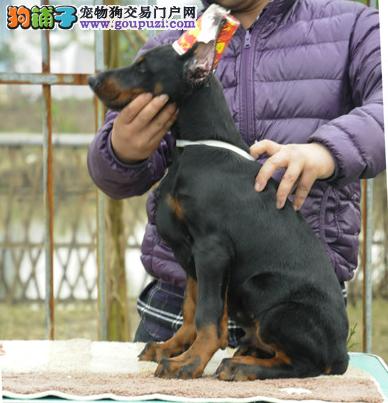 耐力极强的的杜宾狗狗幼崽出售了1