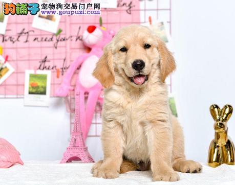 100%纯种金毛幼犬 大头宽嘴 绝对物超所值