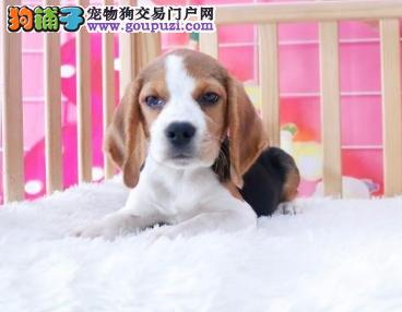 犬场直销比格犬宝宝两个月到四个月都有公母都有