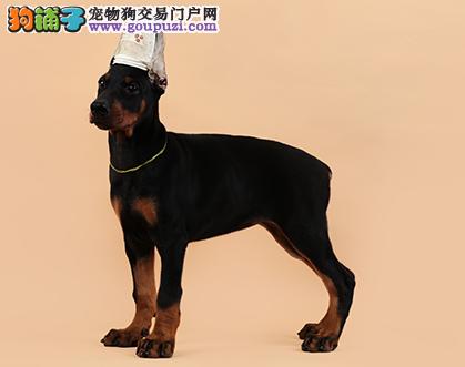 犬舍诚信出售 高品质纯种杜宾幼犬欢迎亲临