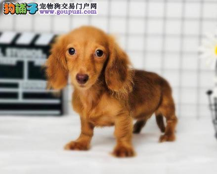 出售腊肠幼犬血统纯种保证健康支持全国拖运3