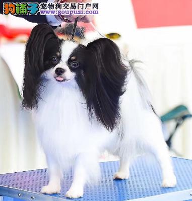 魅力无限好漂亮的蝴蝶犬宝宝出售