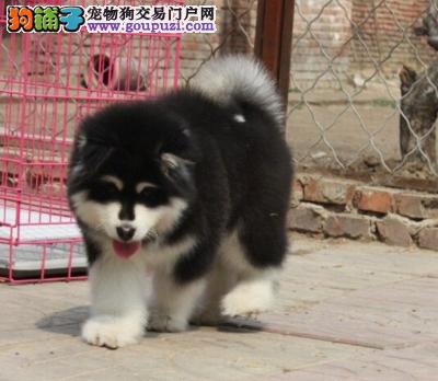 大骨量极品黑白阿拉斯加雪橇犬待售中