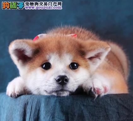 正宗贵族血统秋田犬,均带有证书和芯片