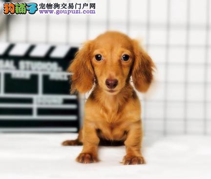 出售腊肠幼犬血统纯种保证健康支持全国拖运1