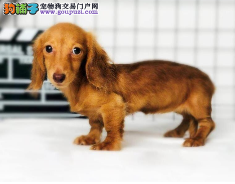 出售腊肠幼犬血统纯种保证健康支持全国拖运2