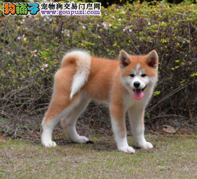 极品贵族血统秋田犬,均带有证书和芯片