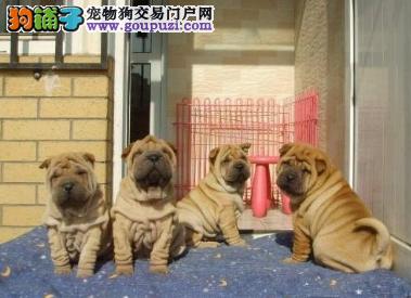 繁殖基地出售纯种沙皮幼犬、沙皮价格、沙皮图片