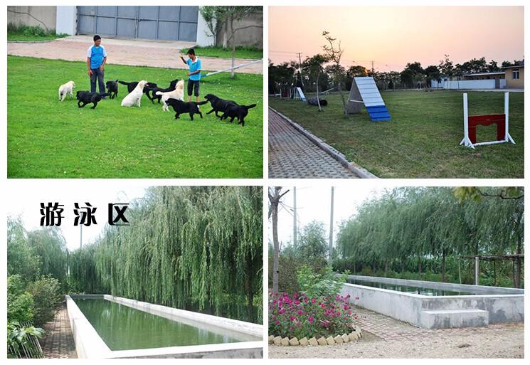热销多只优秀的温州纯种杜高犬幼犬微信看狗真实照片包纯10