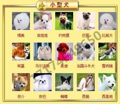 出售高品质格力犬,低价热销保健康,签订活体协议6