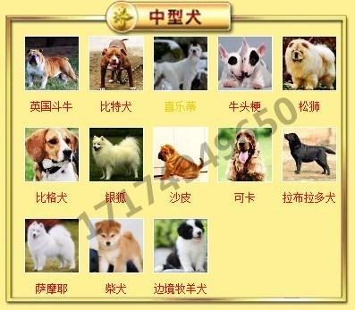 出售高品质格力犬,低价热销保健康,签订活体协议7