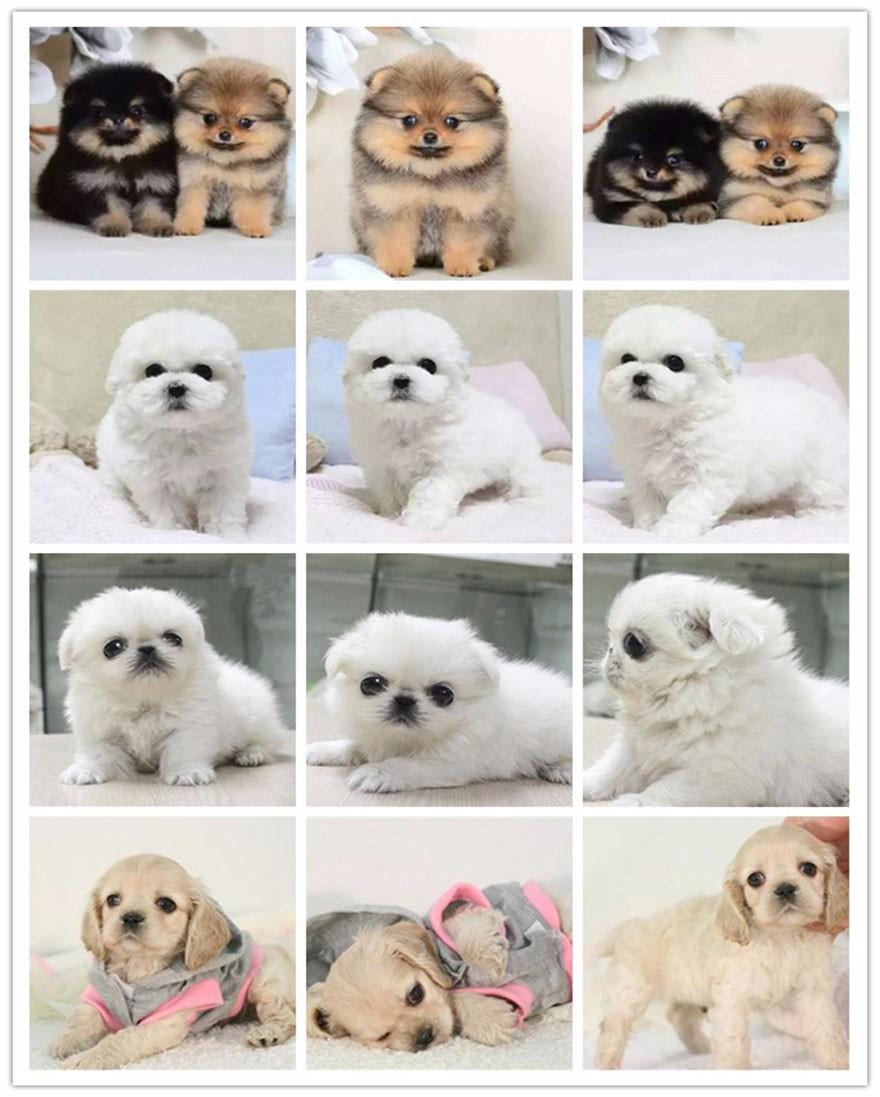 荆州直销小体型泰迪犬香槟色棕红色泰迪熊品相好保品质6
