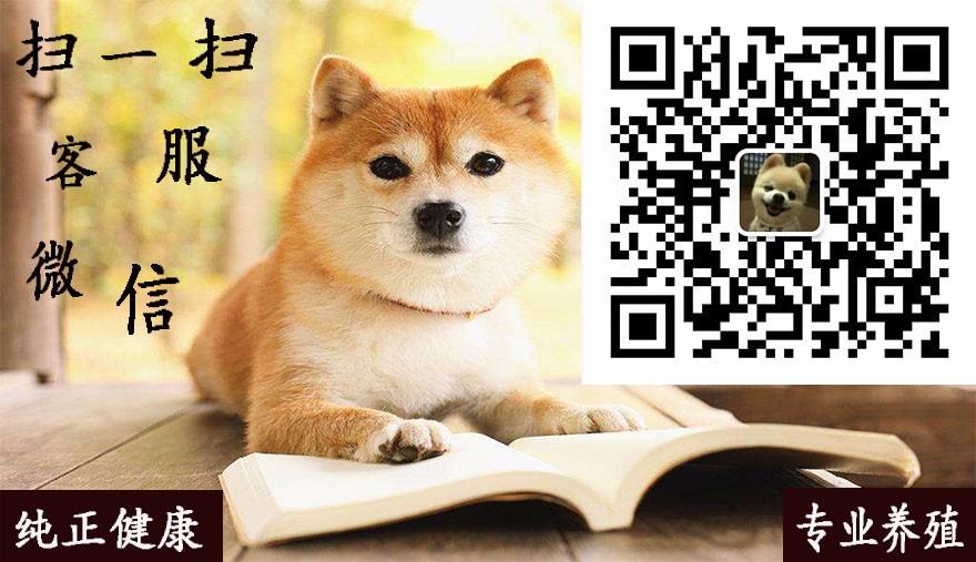 荆州直销小体型泰迪犬香槟色棕红色泰迪熊品相好保品质5