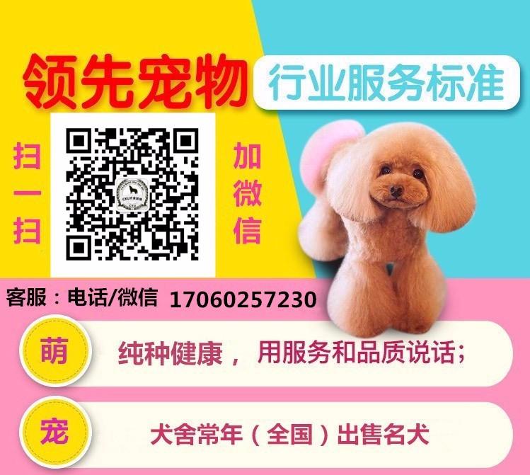 热销多只优秀的宝鸡纯种泰迪犬幼犬保证品质完美售后5